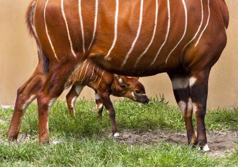 Baby bongo busch gardens 2