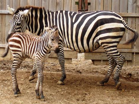 Baby zebra foal mesker park zoo 1