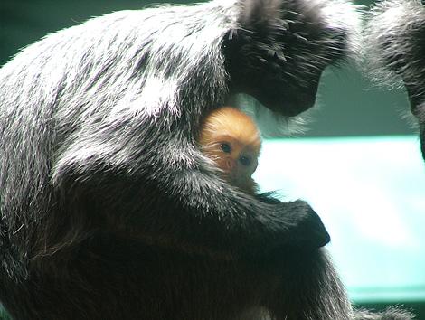 New-langur-baby2-082909