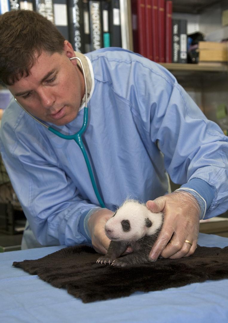 Baby panda checkup san diego zoo 2