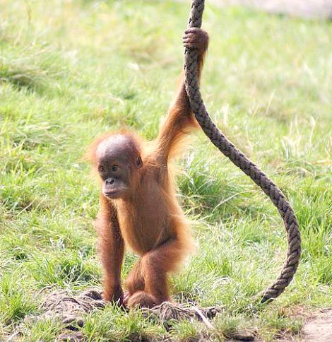 Baby orangutan dortmund zoo 1