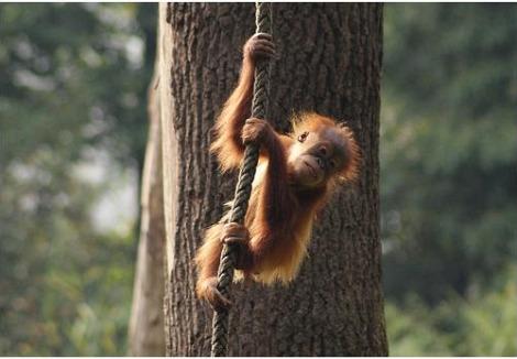 Baby orangutan dortmund zoo 2