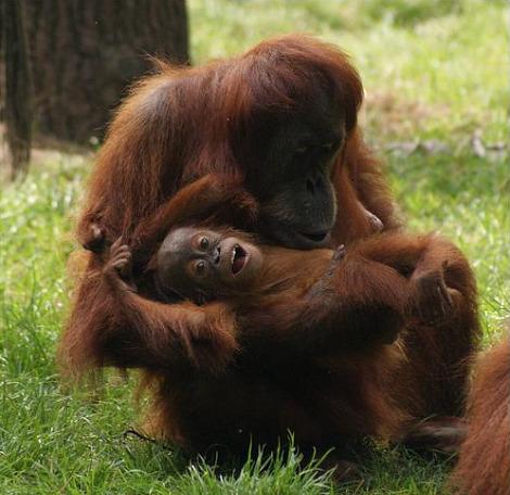 Baby orangutan dortmund zoo 3