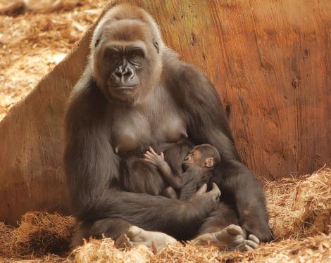 Baby gorilla toronto zoo 1 rs