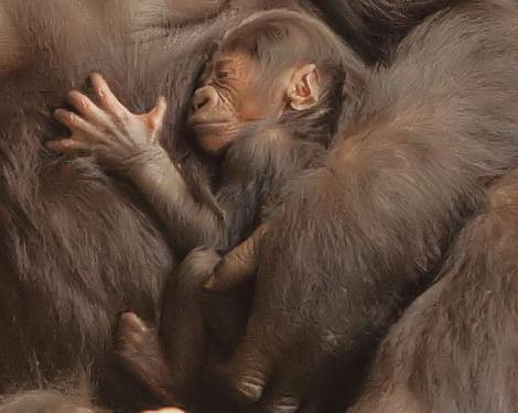 Baby gorilla toronto zoo 2 close up