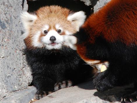 Baby red panda calgary zoo 1