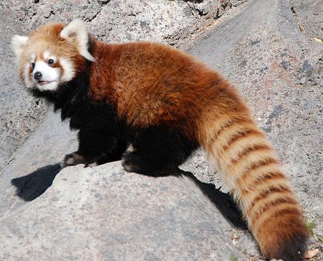 Baby red panda calgary zoo 2