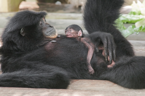 Baby siamang lowry park zoo 2 rs