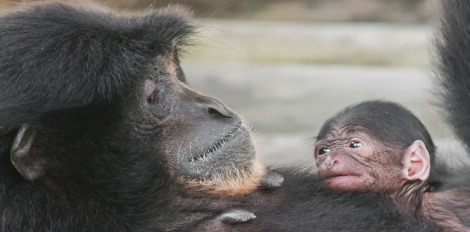 Baby siamang lowry park zoo 2 rs3
