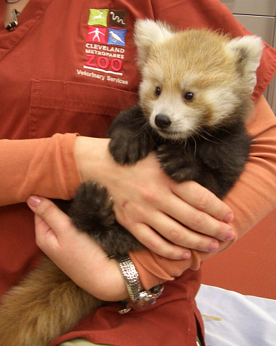 Baby mei mei red panda cincinnati zoo 2 rs