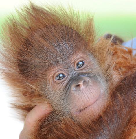Baby orangutan audubon zoo 2 rs