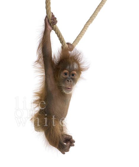 Menari baby orangutan audubon zoo 2