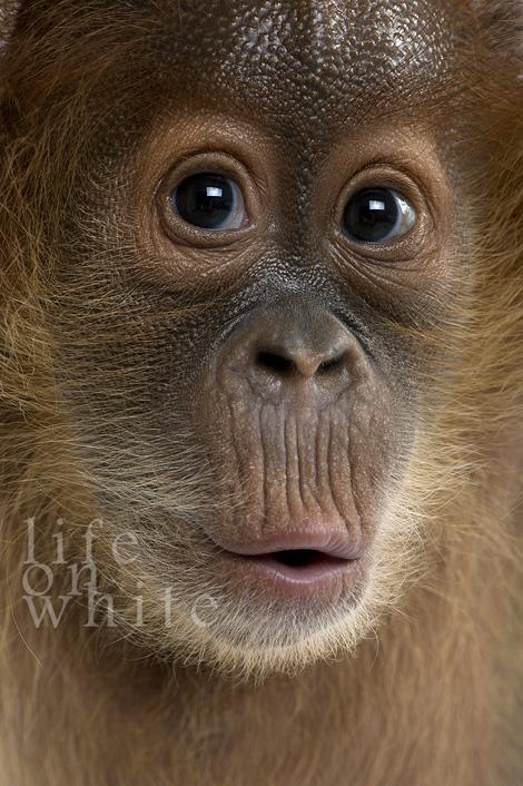 Menari baby orangutan audubon zoo 5