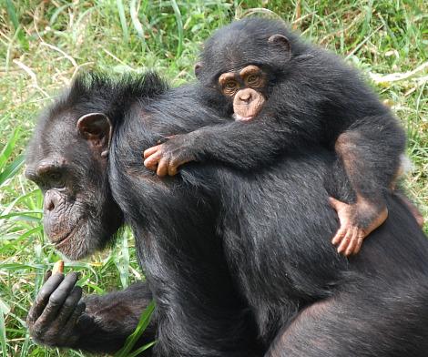 Baby chimp zoe oklahoma city zoo 1 rs