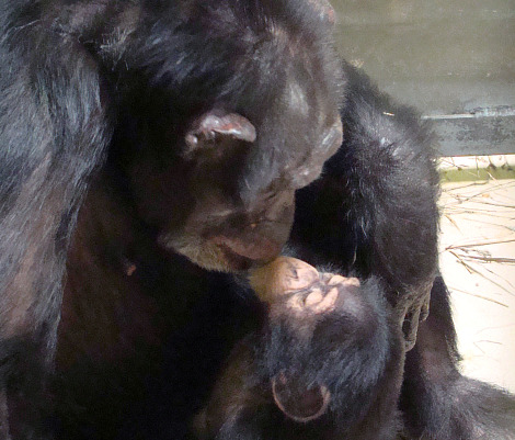 Baby Chimp Makes Her Debut at OKC Zoo - ZooBorns