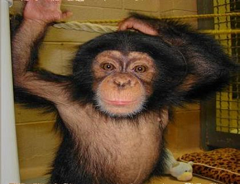 Baby chimp zoe okc 4