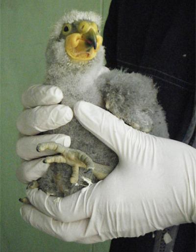 Kea chick 1