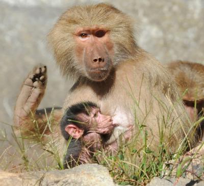 Baby baboon north carolina zoo 6