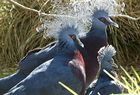 Victoria crowned pigeon zoological society london