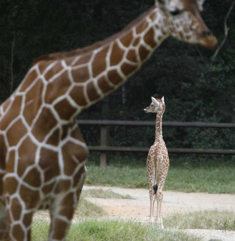 Baby-Giraffe3