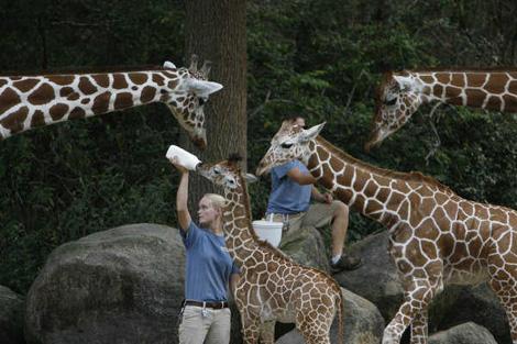 Baby-Giraffe4