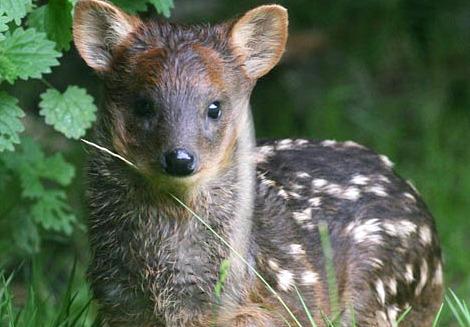 Southern pudu belfast zoo 1