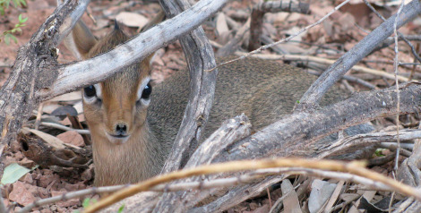 Big dik dik baby 2 rs