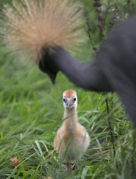 West african crowned crane chick chester zoo 1 rs