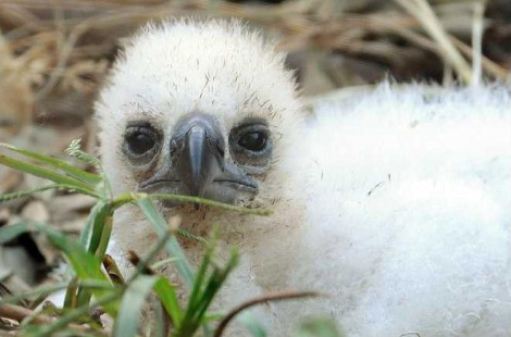 Harpy eagle chick miami metrozoo pic 1