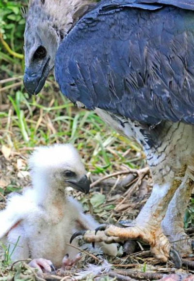 Harpy eagle chick miami metrozoo 4