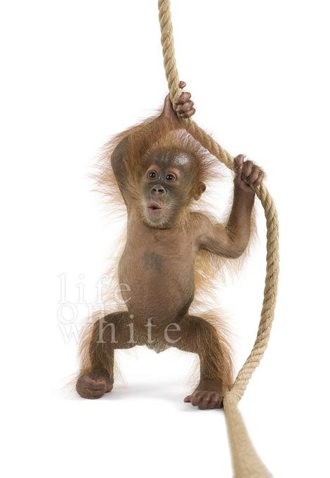 Menari baby orangutan audubon zoo
