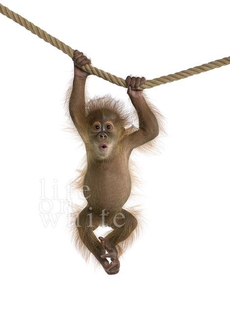 Menari baby orangutan audubon zoo 3