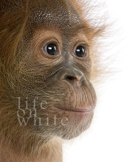 Menari baby orangutan audubon zoo 4