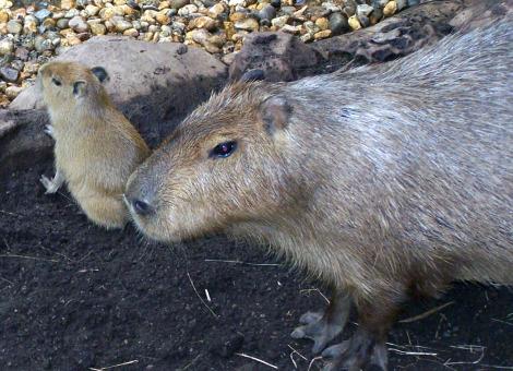 Baby capybara buffalo zoo 4