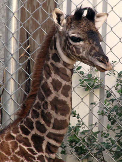Baby giraffe calf virginia zoo 2
