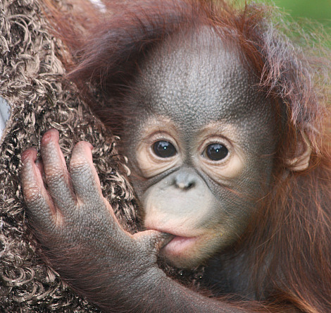 Orphan Orangutan Smiles for the Camera - ZooBorns