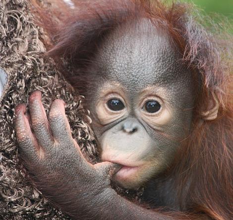 Image result for baby orangutan smiling