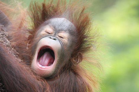 Baby orangutan kali kansas city zoo 4 yawn rs
