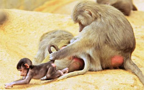 Baby baboon north carolina zoo 1