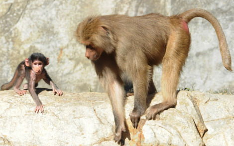 Baby baboon north carolina zoo 3 rs3
