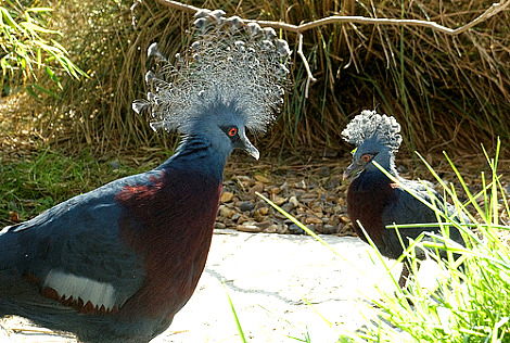 Victoria crowned pigeon zoological society london 3