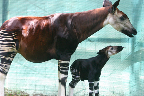 Baby okapi tampa lowry park zoo 3 rs