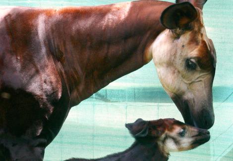 Baby okapi tampa lowry park zoo 1