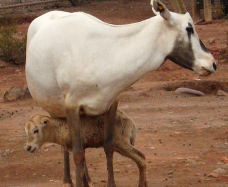 Baby oryx pheonix zoo 2 rs