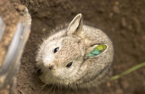 Baby pygmy rabbit kits oregon zoo 1