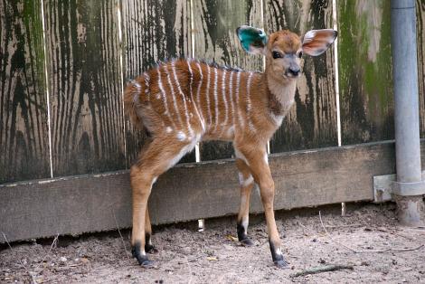 Baby nyala calf houston zoo 1 rs