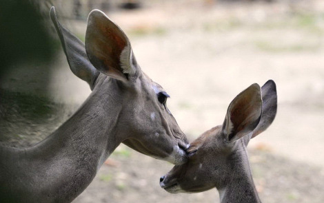 Baby kudu antelope zoo basel 2 close rs