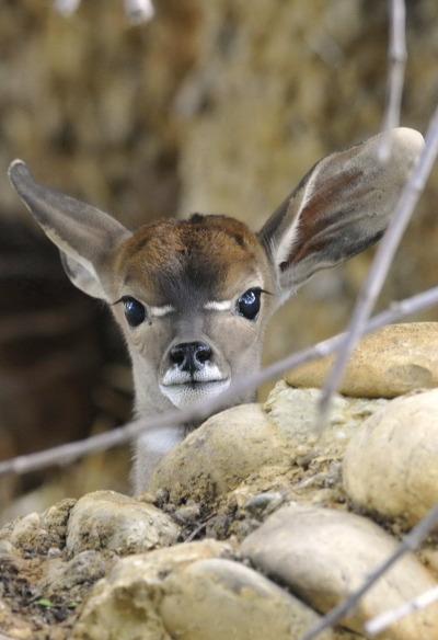Baby antelope zoo basel rs 1