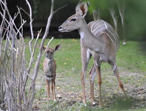 Baby antelope zoo basel 3 rs