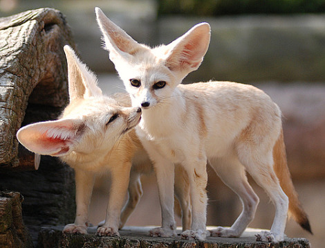 Fennec fox everland zoo 3
